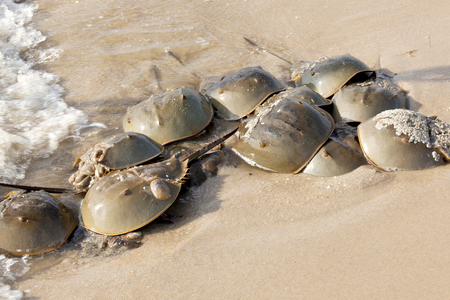 Horseshoe Crab Limulus polyphemus on New Jersey beaches along the Delaware Bay during spawing season