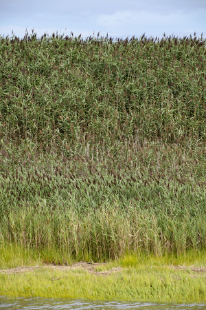 invasive plant: Common reed Phragmites australis growing along the side ofa marsh in New Jersey. Phragmites is an invasive plant species Stock Photo