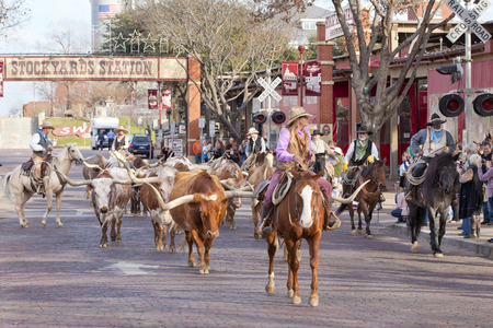 horses: Cattle drive of Texas Longhorn in the historic national stockyards district in Ft Worth, Texas. The Cattle drive is held twice, everyday down the tourist lined Exchange Avenue.