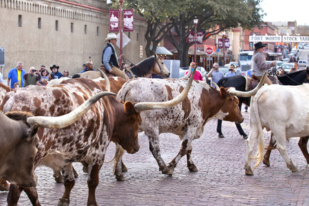 longhorn cattle: Cattle drive of Texas Longhorn in the historic national stockyards district in Ft Worth, Texas. The Cattle drive is held twice, everyday down the tourist lined Exchange Avenue.