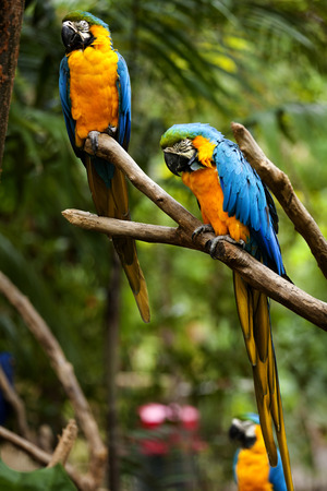 Blue-and-yellow Macaw (Ara ararauna) 스톡 콘텐츠