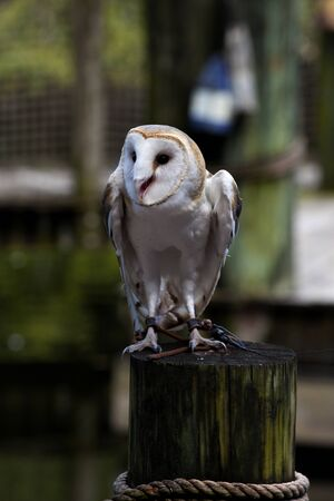 alba: Barn owl (Tyto alba) Stock Photo