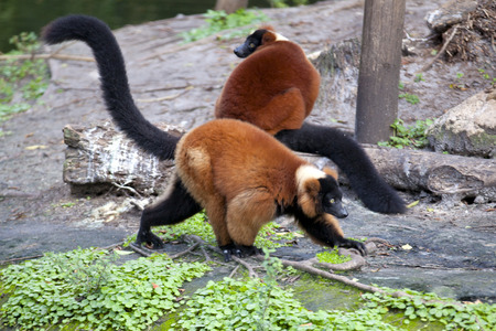 occurs: Red ruffed lemur (Varecia rubra) is native to Madagascar and occurs only in the rainforests of Masoala,