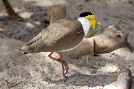 conspicuous: Masked Lapwing (Vanellius miles) is a large, common and conspicuous bird native to Australia. It is also known as the masked plover, the spur-winged plover or just plover