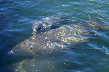 environmental issue: West Indian Manatee (Trichechus manatus) swimming on the surface of a spring fed river in Florida