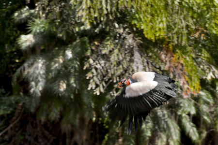 large bird: King Vulture (Sarcoramphus papa) in flight. the King Vulture is a large bird found in Central and South America. Stock Photo