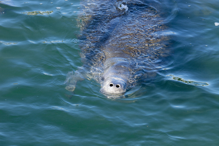 west indian: West Indian Manatee (Trichechus manatus) swimming on the surface of a spring fed river in Florida