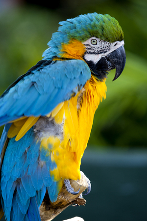 ararauna: Blue-and-yellow Macaw (Ara ararauna) Stock Photo