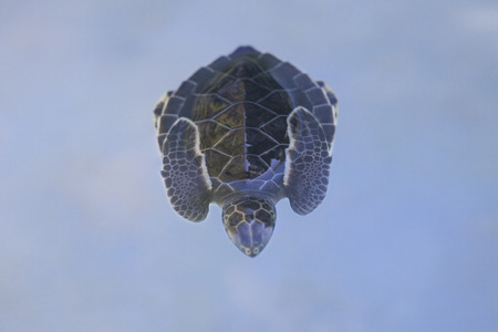 marinelife: Close-up of baby Green sea turtle (Chelonia mydas) floating on the surface pf water a sleep with its front flippers tucked on the back of the shell for pretection