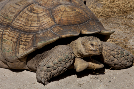 land shell: The Aldabra giant tortoise (Aldabrachelys gigantea), from the islands of the Aldabra Atoll in the Seychelles, is one of the largest tortoises in the world.[