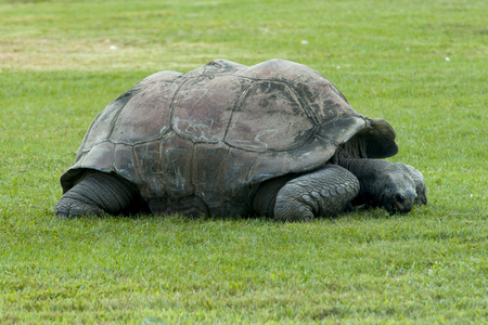 The Aldabra giant tortoise (Aldabrachelys gigantea), from the islands of the Aldabra Atoll in the Seychelles, is one of the largest tortoises in the world.