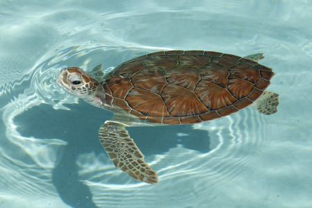 Green sea turtle (Chelonia mydas) swimming on the surface taking a breath of air Imagens