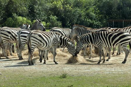 Common Zebra (Equus burchelli) Banco de Imagens
