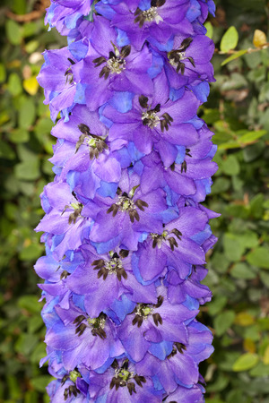 Closeup of a Blue Bird Delphihium (Delphinium) flower in a garden Фото со стока