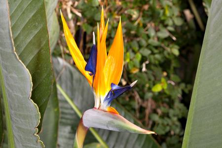 Closeup of a Bird of Paradise (Strelitzia reginae) flower in a garden Фото со стока