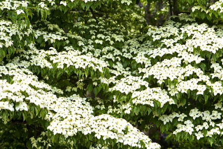 Closeup of a Japanese Flowering Dogwood (Cornus kousa) tree in a garden