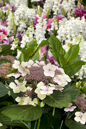 bigleaf hydrangea: Closeup of Bigleaf Hydrangea (Hydranea macrophylla) flower in a garden with snapdragons in the background Stock Photo