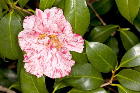 camellia japonica: Closeup of a Japanese Camellia -Dahlohnega- (Camellia japonica) flower in a garden