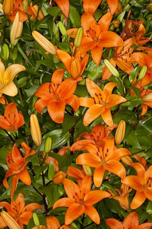 Closeup of a orange Asiatic Lilies flower in a garden