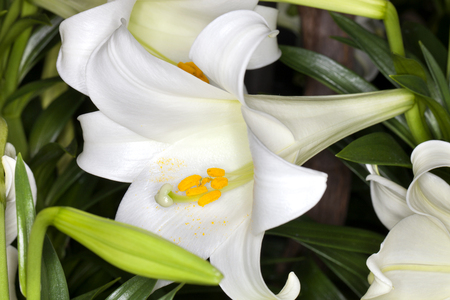 easter lily: Closeup of a Easter lily (Lilium longiflorum) flower in a garden
