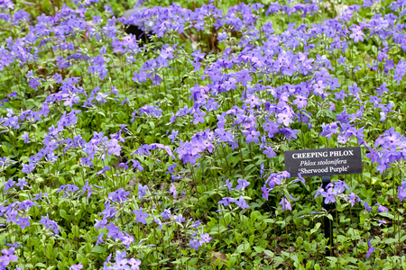 Closeup of a Creeping Phlox (Phlox stolonifera) or Sherwood Purple flower in a garden with identification sign