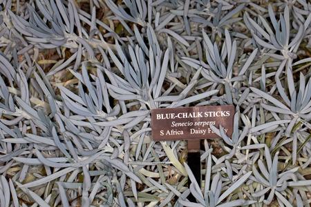 Closeup of a Blue-Chalk Sticks (Senecio serpens) in a garden with identification sign