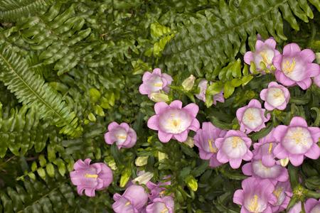 canterbury: Closeup of a Canterbury Bells -Champion Pink- (Campanula medium) flower in a garden