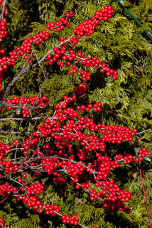 evergreen tree: Closeup of a red berries and evergreen tree in a garden