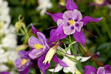 columbine: Closeup of a Columbine (Aquilegia) flower in a garden. Columbine are also called Grannys Bonnet . Stock Photo