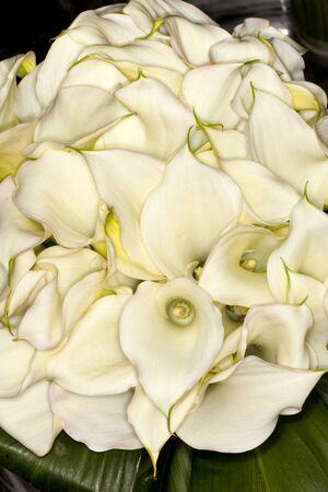 Closeup of a Calla-lily (Zantedeschia aethiopica) flower in a garden