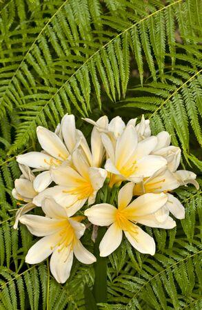Closeup of a Clivia (Clivia miniata) - mixed hybrids flower in a garden Фото со стока