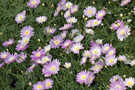 argyranthemum: Closeup of a Supacrest Marguerite (Argyranthemum frutescens) flower in a garden Stock Photo