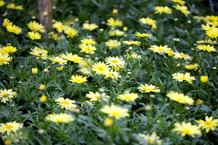 argyranthemum: Closeup of a Sunlight Marguerite (Argyranthemum frutescens) flower in a garden Stock Photo