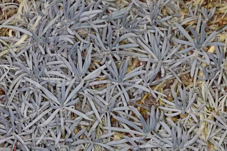 senecio: Closeup of a Blue-Chalk Sticks (Senecio serpens) in a garden Stock Photo