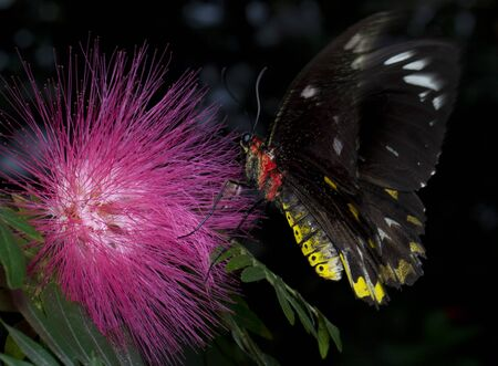 Closeup of a Common Birdwing butterfly (Troides helena) pollinating a flower and feeding on the nectar. The Birdwing is a beautiful and large butterfly belonging to the Swallowtail (Papilionidae family). Banque d'images