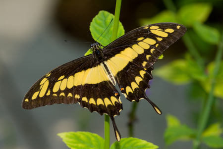 Close-up of a Thoas Swallowtail butterfly Banque d'images