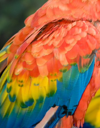 Closeup of Scarlet Macaw wing (Ara macao) for texture background Banque d'images