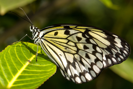 Closeup of a Tree Nymph (Idea leuconoe) also known as Paper Kite Butterfly Banque d'images