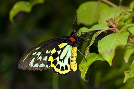 Closeup Common Birdwing (Troides helena) is a beautiful and large butterfly belonging to the Swallowtail (Papilionidae family). Banque d'images