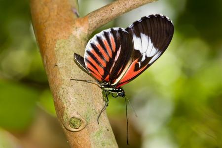 Closeup of a Piano Key butterflies (Heliconius melpomene).