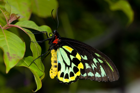 Description: Closeup Common Birdwing (Troides helena) is a beautiful and large butterfly belonging to the Swallowtail (Papilionidae family). Stock Photo