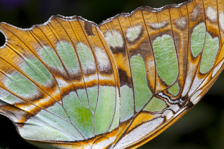 Closeup of a colorful butterfly wing