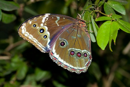 Blue Morpho Butterfly (Morpho peleides) resting on a bamboo leaf. Also known as Peleides Blue Morpho, Common Morpho, or The Emperor. Blue Morpho are an iridescent tropical butterfly species. Banque d'images