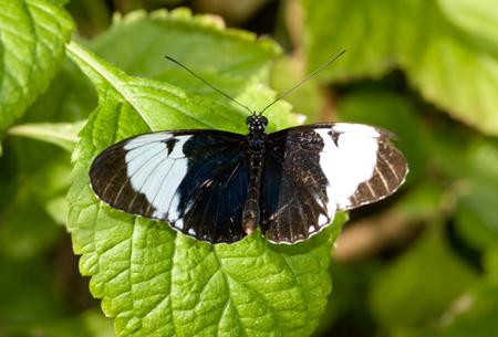 Sara Butterfly (closeup) Banque d'images