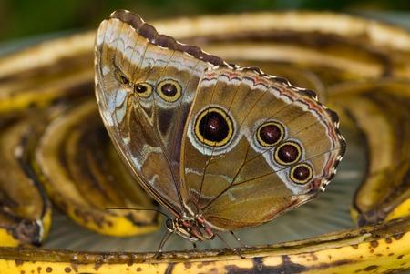 part of me: Mariposa azul de Morpho (peleides de Morpho) descansando sobre una hoja de bambú. También conocido como Peleides azul de Morpho, Morpho común, o el emperador. Morpho azul iridiscente son una especie de mariposa tropicales. Foto de archivo