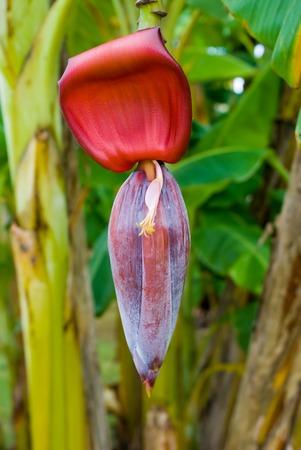 Banana flower at a plantation Фото со стока