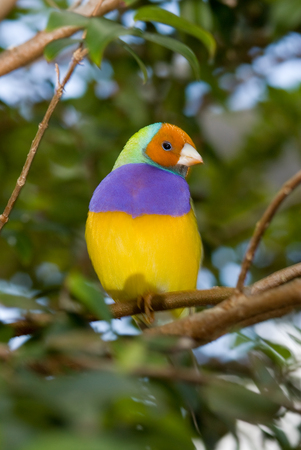 finch: The Gouldian Finch, Erythrura gouldiae (or Chloebia gouldiae), also known as the Lady Gouldian Finch,  Goulds Finch or Rainbow Finch , is a colourful passerine bird endemic to Australia