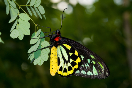 Closeup Common Birdwing (Troides helena) is a beautiful and large butterfly belonging to the Swallowtail (Papilionidae family). Stock Photo