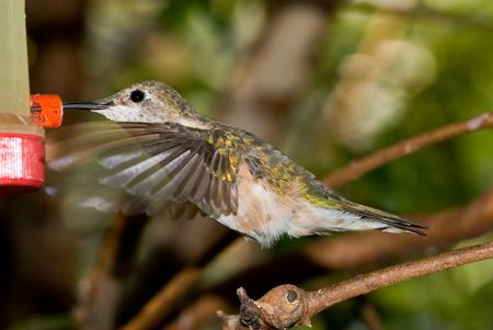 slight: Hummingbird at bird feeder. Slight motion blur on wings and tail