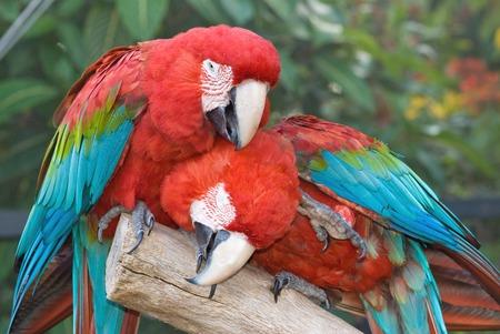 lovebirds: Closeup of two Scarlet Macaw (Ara macao)